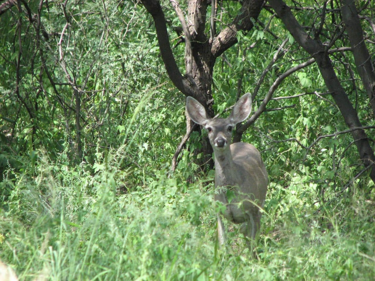 Adult deer looking straight at the camera surrounded by grass and trees